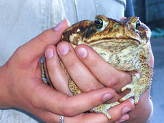 really big toad